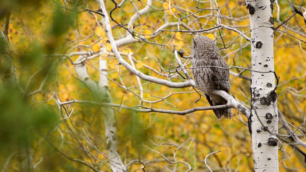 Great Grey Owl Begging Call - YouTube