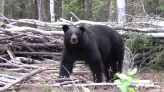 Traditional Bowhunting: First Black Bear of 2015