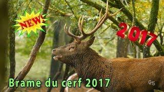 Brame du cerf 2017 (Parc de Sainte-Croix) Lorraine