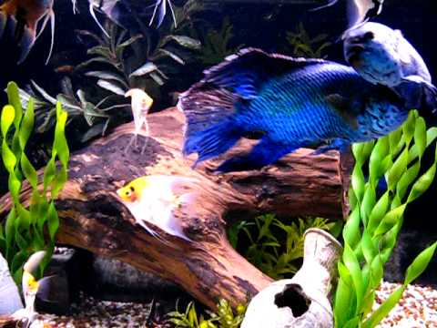 Electric Blue Jack Dempsey's And Angelfish