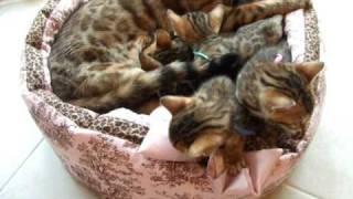 みーこの子猫たち、生後1ヶ月になりました。 子猫たちだけカドラーに入れて撮影するつもりだったのに、途中でみーこが乱入。 きちきち狭狭な...