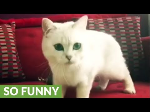 Cat meows in excitement when owner blows bubbles