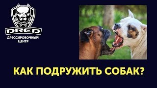 Как подружить собак?