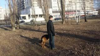 Дрессировка собак -восточная овчарка Вульф 4 .5 года