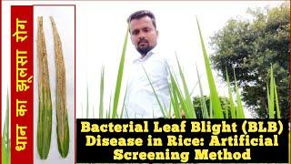 Bacterial Leaf Blight Disease in Rice- an artificial disease screening method: Part 1.