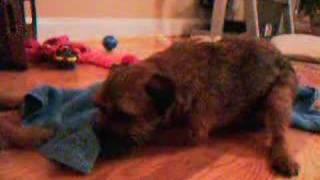 Border Terrier Cecs - Dog 8