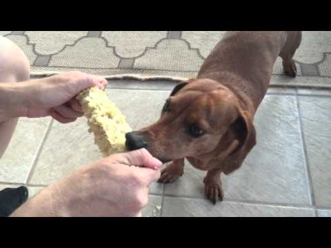 Dachshund Loves Eating Corn On The Cob