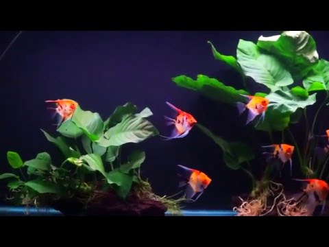 Angelfish aquarium