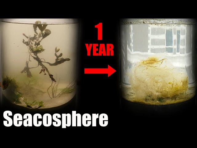 A Year Ago I Put Saltwater in a Jar, This Happened     Natural saltwater ecosphere 1 year update