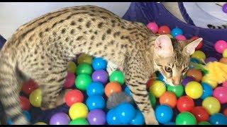 Cute And Funny Savannah Cats Playing