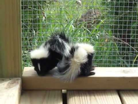 angry skunk baby