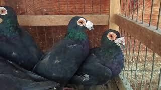 голуби драконы черные г.Исилькуль