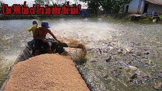 Sốc vì lần đầu tận mắt thấy cách nông dân cho 300 trăm tấn Cá Tra ăn ở Cồn Sơn Cần Thơ