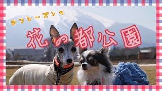 2019年3月15日。富士山の麓、山中湖の近くにある『花の都公園』へ行って...