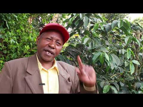 Kenyan gold in Kiambu Kenya