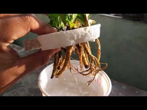 how to grow seeds in water without soil