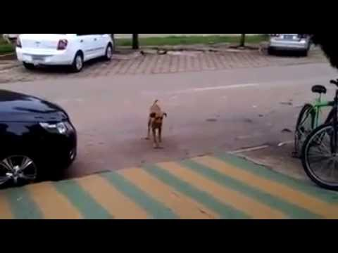 Funny Dogs Video – The Dancing Dog