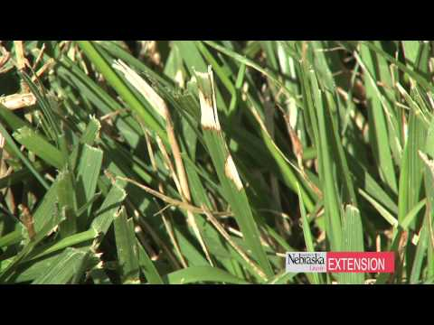 how to fix dead spots in st augustine grass