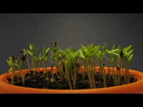 Cherry tomatoes time lapse