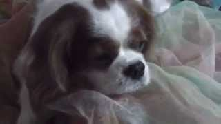 Angus, Our Cavalier King Charles  Spaniel Dog