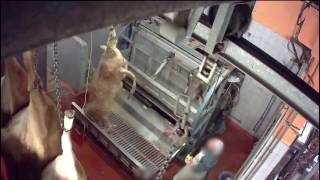Abattoir Pezenas - Mise à mort des bovins avec étourdissement