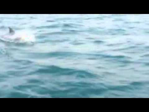 Humpback Dolphins, Knysna Heads