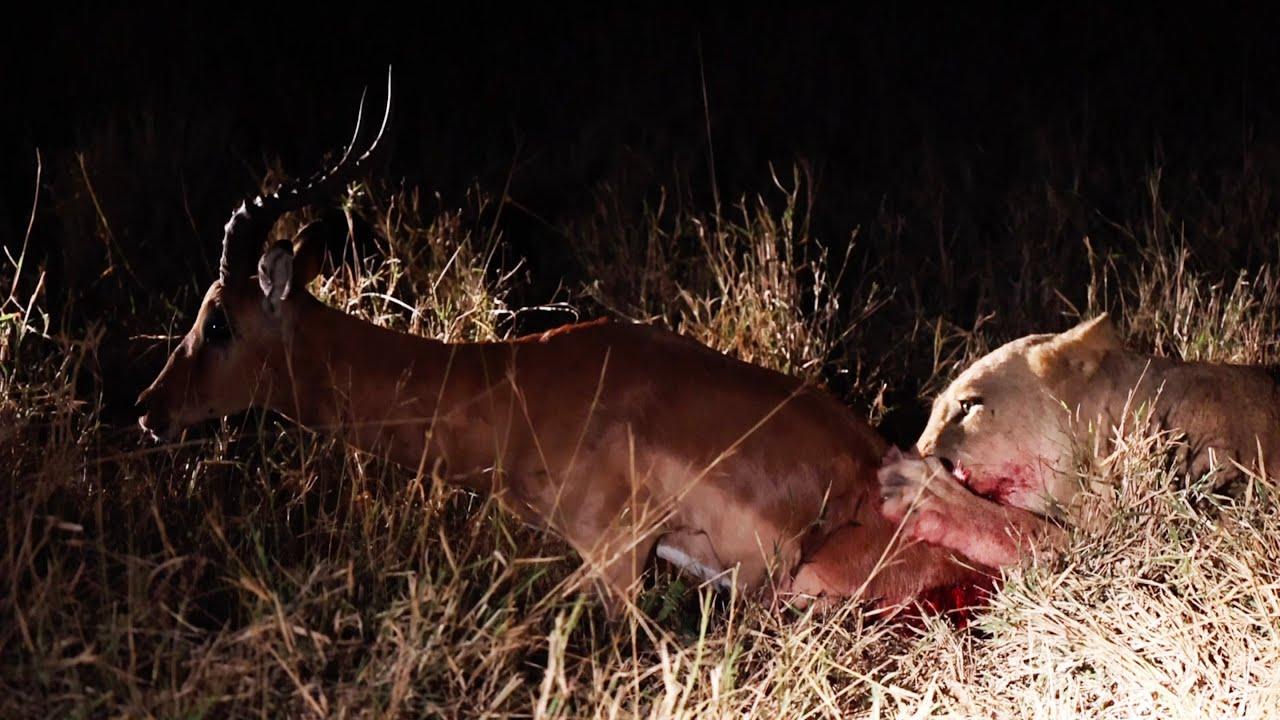 LION Eats IMPALA Alive. *** NOT FOR SENSITIVE VIEWERS ***