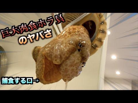 巨大肉食ホラ貝のエグさがわかる瞬間が撮れました泣泣泣