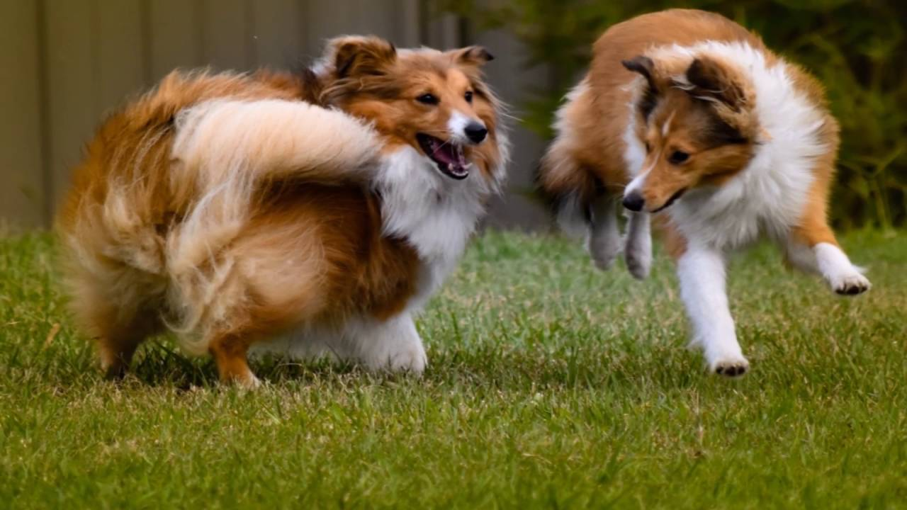 Shetland Sheepdogs Shelties Puppy To 8 Months Old Youtube