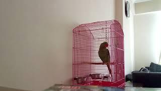 iskender papağanı konuşması coo