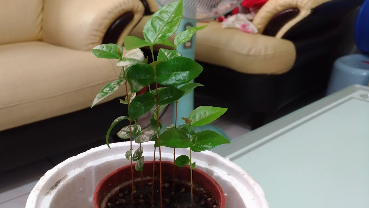 八角櫻桃種子盆栽種植紀錄(Octagonal cherry Seed potted plants Planting records) - YouTube