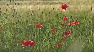 Flowers Footage poppies   футаж полевые цветы маки