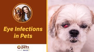 Eye Infections in Pets