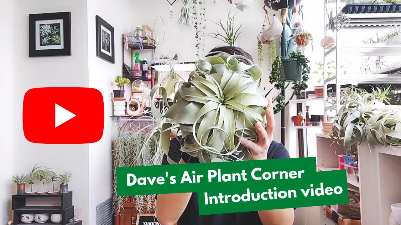Intro To Air Plants | Dave's Air Plant Corner