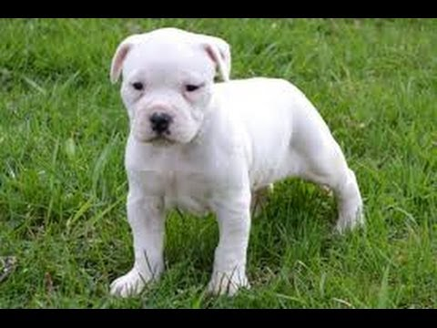 American Bulldog, Puppies, Dogs, For Sale, In Denver ...