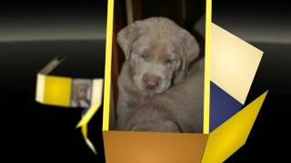 Silver Labrador Retriever Puppies For Sale - Silver Labs Ohio - Silver Labs West Virginia -