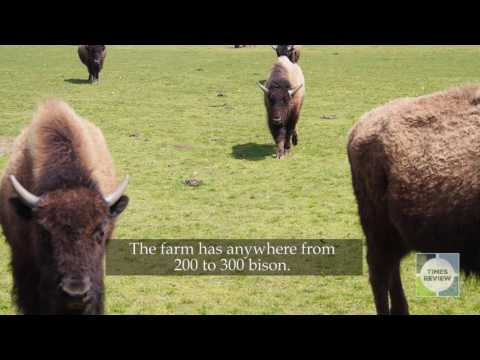 Teaser: More Black Bison Born At Riverhead Farm