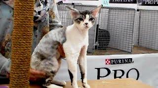 Девон Рекс - Удивительная Кошка с Милой Мордочкой | Породы КОШЕК