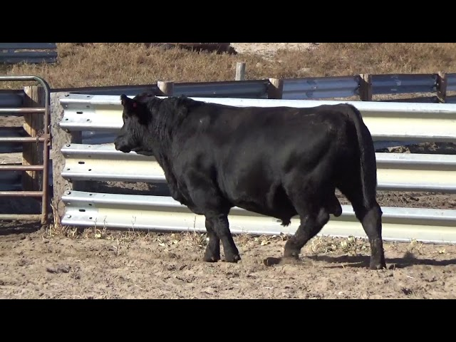 Connealy Angus Lot 83