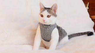 ハーネスの練習をする子ねこ。-Kitten Miri practices the harness.-