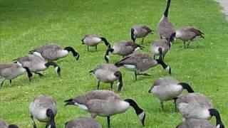 Зайцы на поляне среди вечно голодных канадских гусей