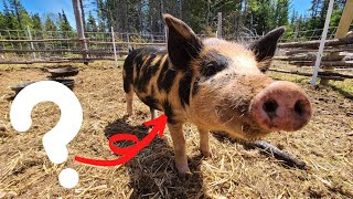 Installing An Energizer and Introducing Our Pigs