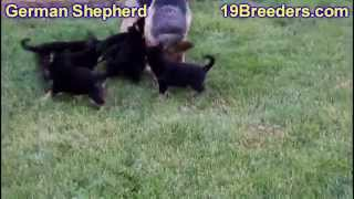 German Shepherd, Puppies, For, Sale, In, Indianapolis, Indiana, In, Valparaiso, Goshen, Westfield, M