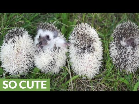 Baby hedgehogs are adorable balls of cuteness