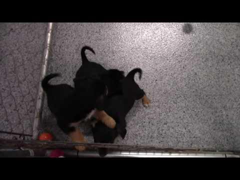 rescue-pups---corgi-airedale-mix?-adoption-date:-dec-31