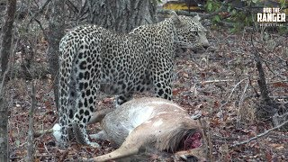Scotia Female Leopard With A Nyala Kill In The Lodge