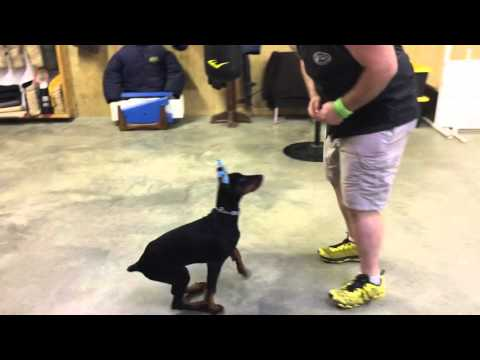 Doberman Puppy 'Aero' 16Wks Obedience Protection Trained Dog For Sale