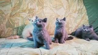 Британские котята голубые и кремовые (Litter-I2)