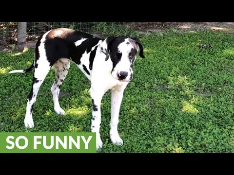 Great Dane jumps for joy with his favorite toy