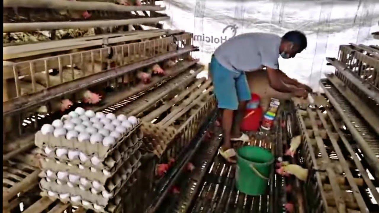 Download Egg Machine / Harvesting hundreds of eggs / Backyard poultry farming